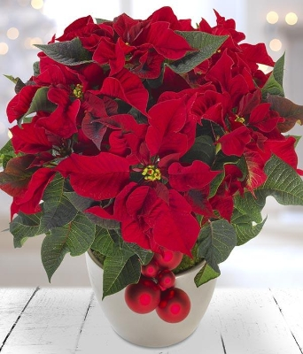 (1) Red Christmas Poinsettia